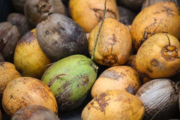 plody kokosovníka